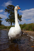 Great mute swan standing in a water — Stock Photo
