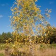 Birch with yellow leaves — Stock Photo