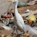 ������, ������: Egypt egret bird on sity dump