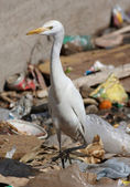 Egypt egret bird on sity dump — Stock Photo