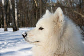 Samoyed dor in winter forest — Stock Photo
