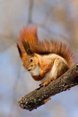 Red squirrel on the branch — Stock Photo