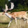 Dappled deer on a meadow — Stock Photo