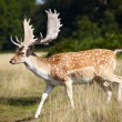 Stock Photo: Dappled deer on meadow