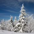 Snowy firs - Stock Photo