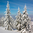 Stock Photo: Fir trees