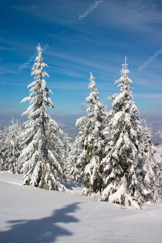 Snow covered fir trees under blue sky  Foto de Stock   #1726577