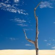 Alone dead tree in sand — Stock Photo #1806995