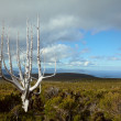 Dead tree in Tasmanian mountains - Stock Photo