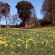 Flowering daffodil meadow — Stock Photo