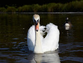 Mute swan in a lake — Stock Photo