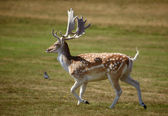 Beautiful sika deer running on a meadow — Stock Photo