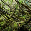 Tempered rainforest in Tasmania — Stock Photo