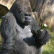Gorilla considering a cucumber - Stock Photo