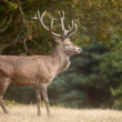 Red deer in a forest — Stock Photo