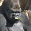 Male Gorilla eating a cucumber — Stock Photo