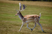 Running dappled deer — Stock Photo