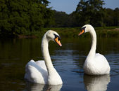 Pair of mute swans — Stock Photo