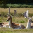 Dappled deers relaxing on a sun — Photo