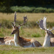 Dappled deers relaxing on a sun — Stockfoto