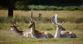 Dappled deers relaxing on a sun — Stock Photo