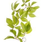 Grape fresh leaves over white — Stock Photo