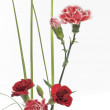 Beautiful spring carnation — Stock Photo #1643082