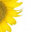 Beautiful yellow sunflower over white — Stock Photo