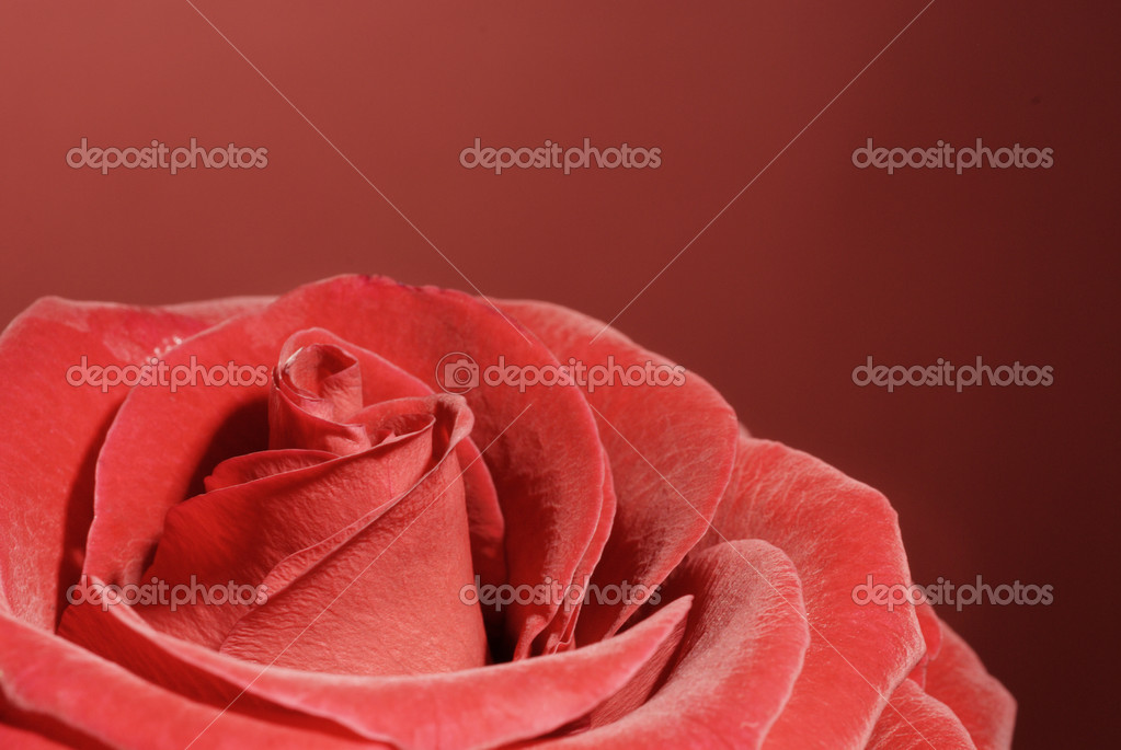 Beautiful red rose  on a wine-coloured background. — Stock Photo #1642345
