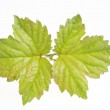 Nature green leaf isolated — Stock Photo