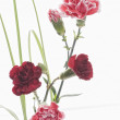 Beautiful spring carnation — Stock Photo #1763764