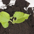 Growing green plant in soil - Stock Photo