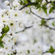 Blossom of beautiful spring cherry tree — Stock Photo