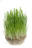 Green grass sprout of wheat over white backgrou — Stock Photo