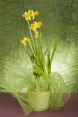 Yellow daffodil in a pot — Stock Photo