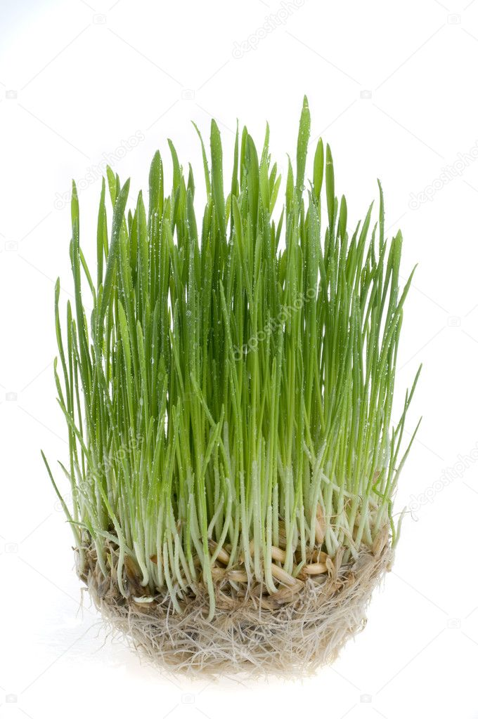 Green grass germinating from wheat grains with roots  on a white background. — Stock Photo #2401719