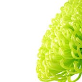 Yellow-green chrysanthemum — Stock Photo