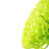 Yellow-green chrysanthemum — Stockfoto