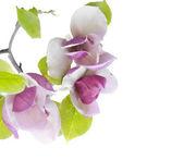 Flowering branch to magnolias. — Stock Photo
