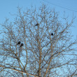 Ravens on tree — Stock Photo #1792569