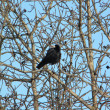 Crow on tree — Stock Photo #1797689
