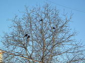 Ravens on tree — Stock Photo