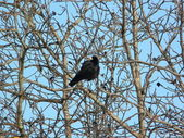 Crow on tree — Stock Photo