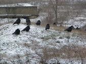 Ravens — Stock Photo