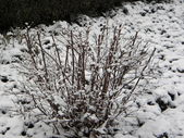 Bush in snow — Stock Photo