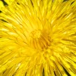Stock Photo: Yellow dandelion flower