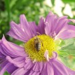 A bee on a flower — Stock Photo