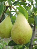 Two pears on the tree — Stock Photo