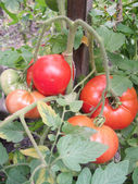 Tomatoes in the garden — Stock Photo