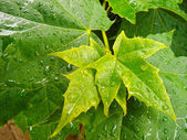 Maple leaf after rain — Stock Photo